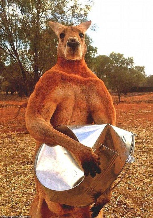Kangaroo1.thumb.jpg.954369c510434ec3aad427489f93b9a5.jpg